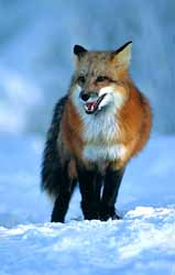 Red fox - common in the Liechtenstein mountains